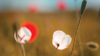 Red and white poppies in a field. Image focuses on white poppy.