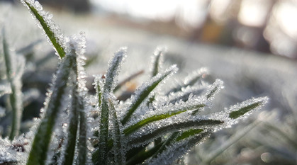 frost-covered plants