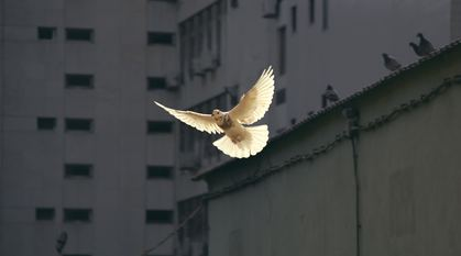 a dove flying through grey urban streets