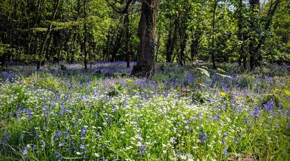 woodland on a sunny day with a carpet of bluebells